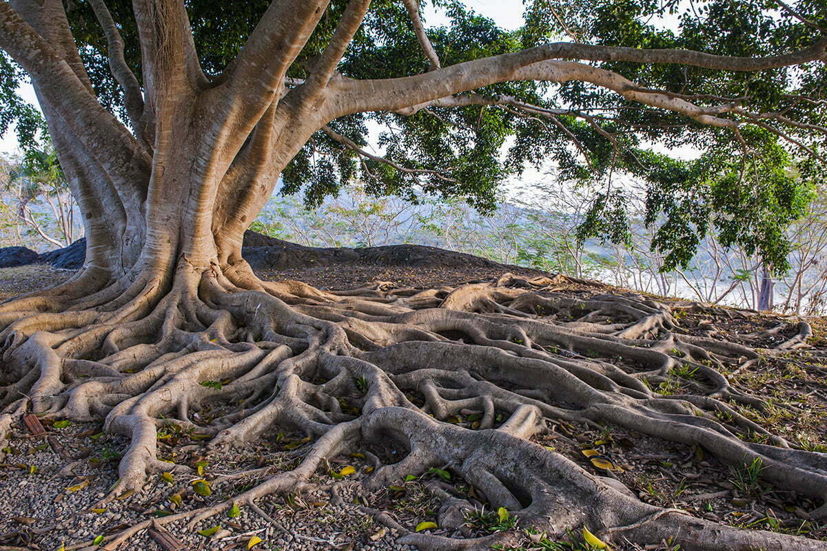 mature tree with lots of roots